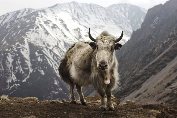 A-yak-in-the-Nepalese-Himalayas-600x400